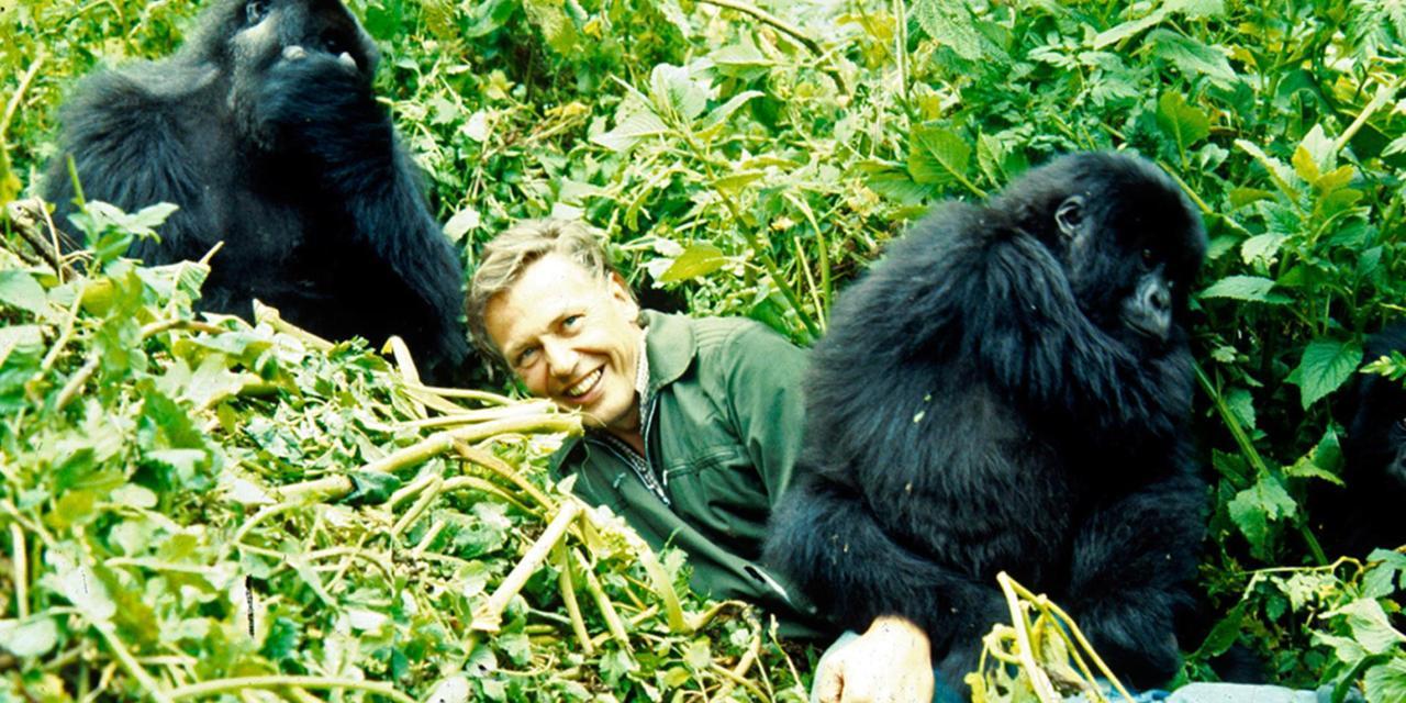 David Attenborough with gorillas