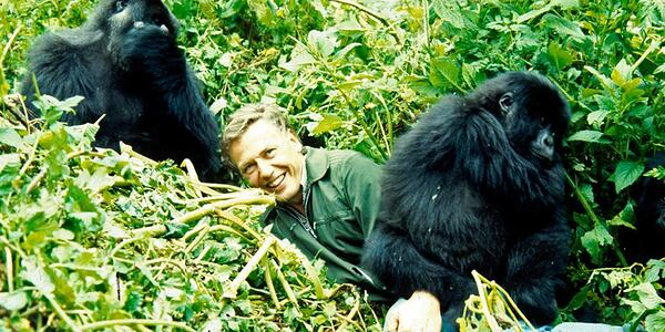 David Attenborough with gorillas