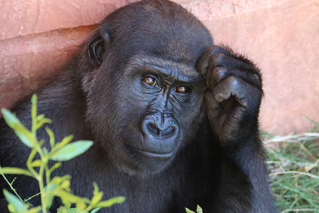 young-gorilla-portrait